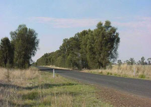 Remnant  buloke is mostly restrictedto roadside remnants or scattered paddock trees</p>