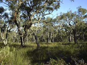 Stringybark woodland