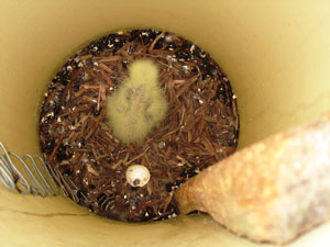 A yellow down covered Red-tail chick observed in a plastic nest box in June 2010.