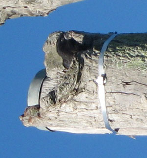 A juvenile Red-tail about to fledge from an artificial nest in June 2010.