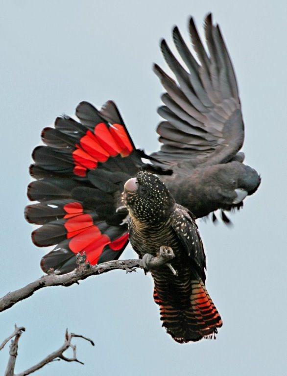Pair of South-eastern Red-tailed Black-Cockatoos. Photo Bob McPherson