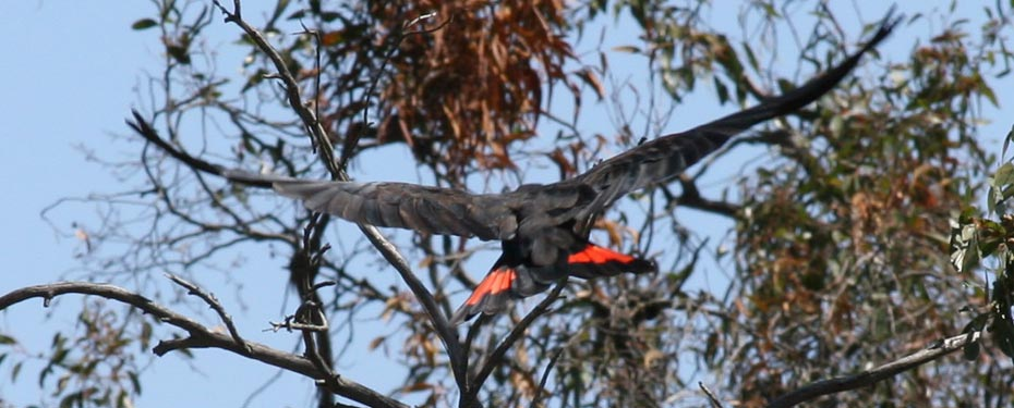 As with many other parrots and cockatoos, Red-tails nest in deep hollows that have formed in very large, old eucalypts.