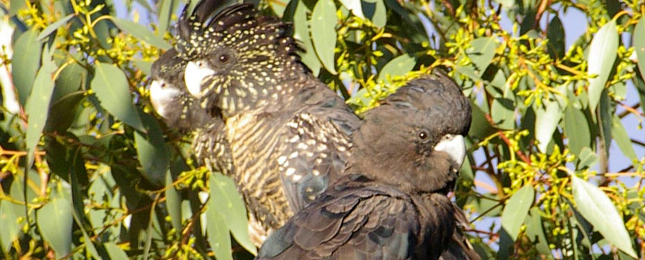 Increase the area of Red-tail feeding habitat by planting new stands of stringybark and Buloke.