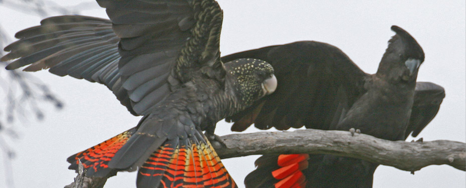 Male Red-tails have glossy black plumage with stunning, bright red tail panels. Females are quite different but equally spectacular.
