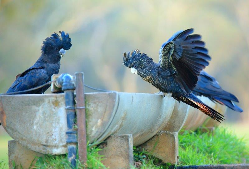 Pair of South-eastern Red-tailed Black-Cockatoos near Bangham. Photo Credit: Luke Leddy